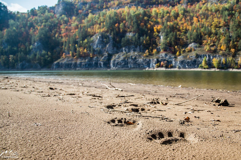 Нугушское водохранилище, следы медведя