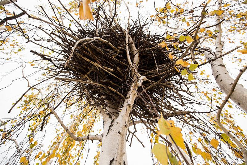 Гнездо на вершине березы