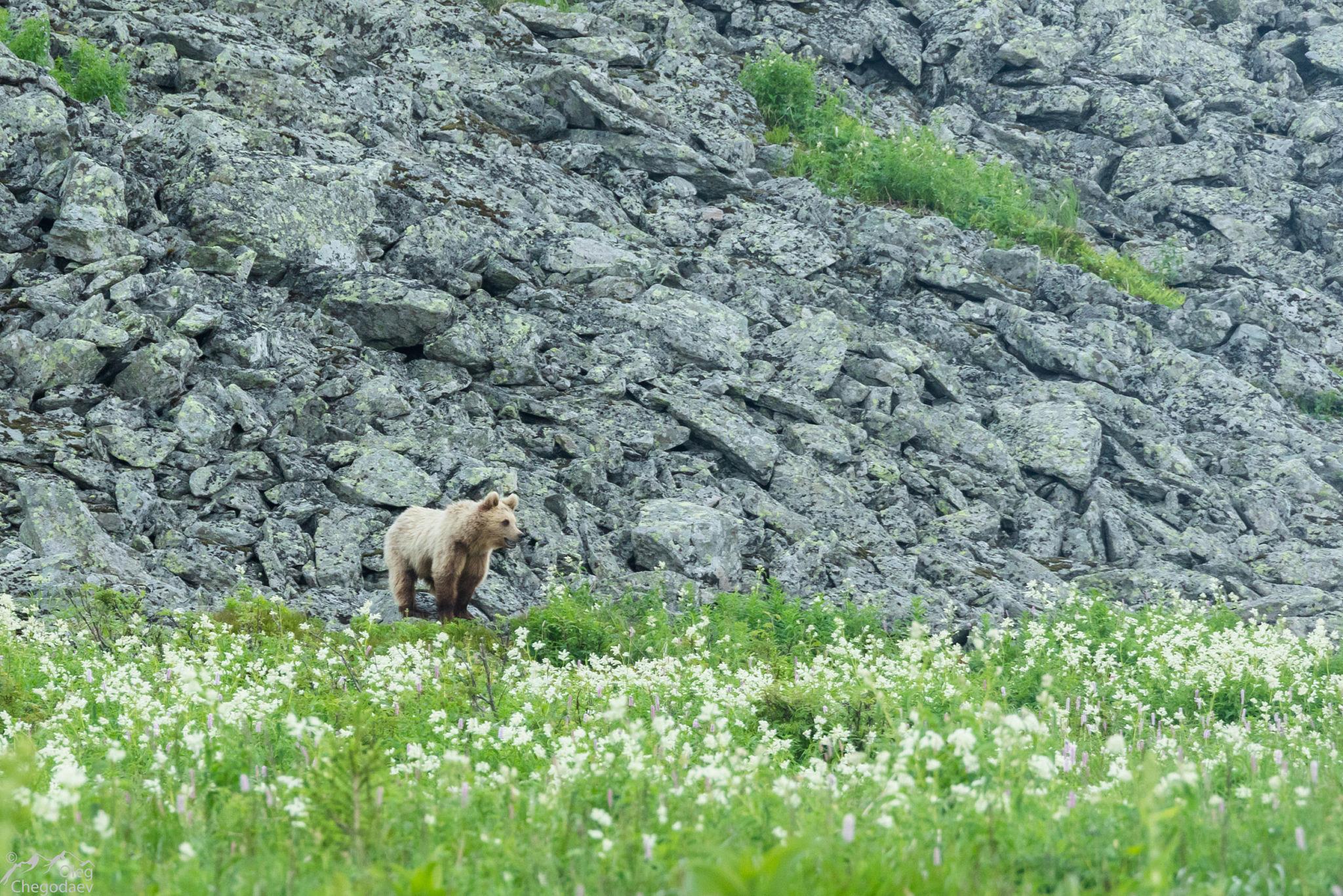 Медведь на хребте Машак