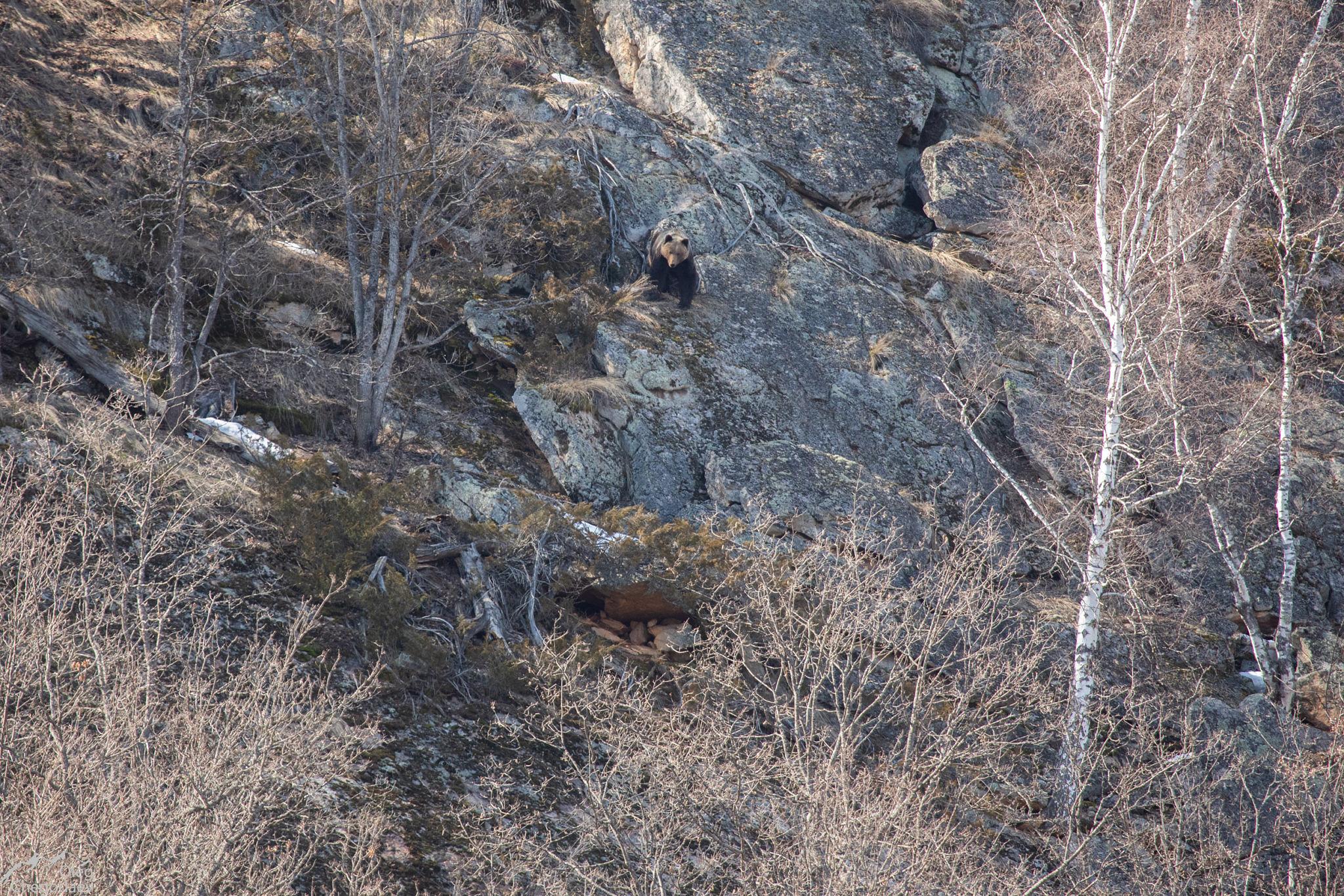 Бурый медведь на скалах Нугуша