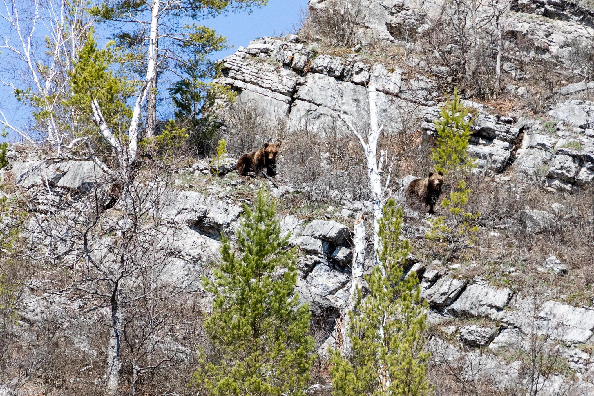 Бурый медведь в Башкирии