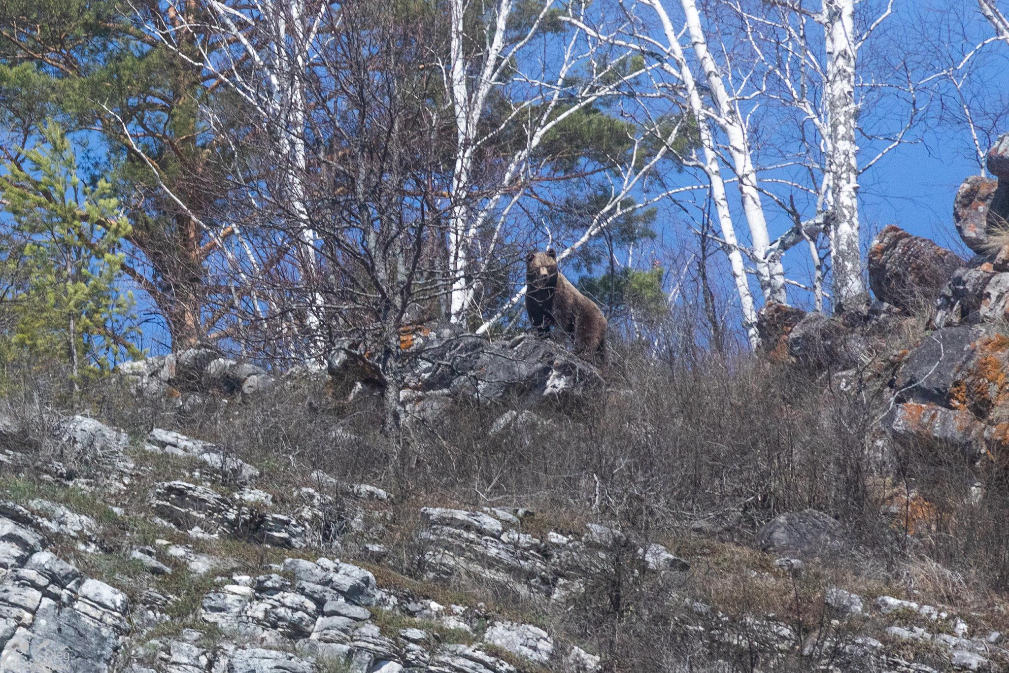 Медведи Южного Урала