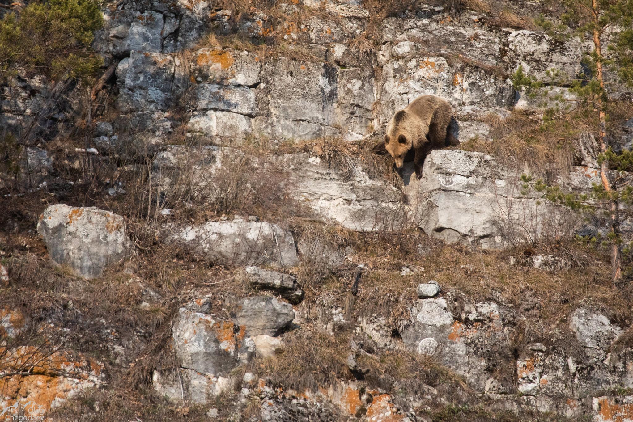Медведи Нугуша