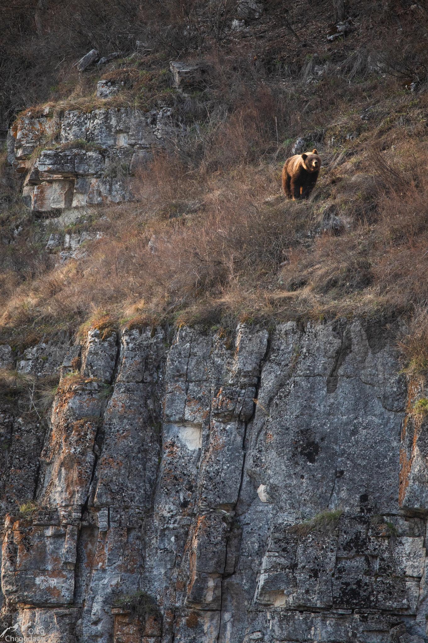 Бурый медведь на скалах