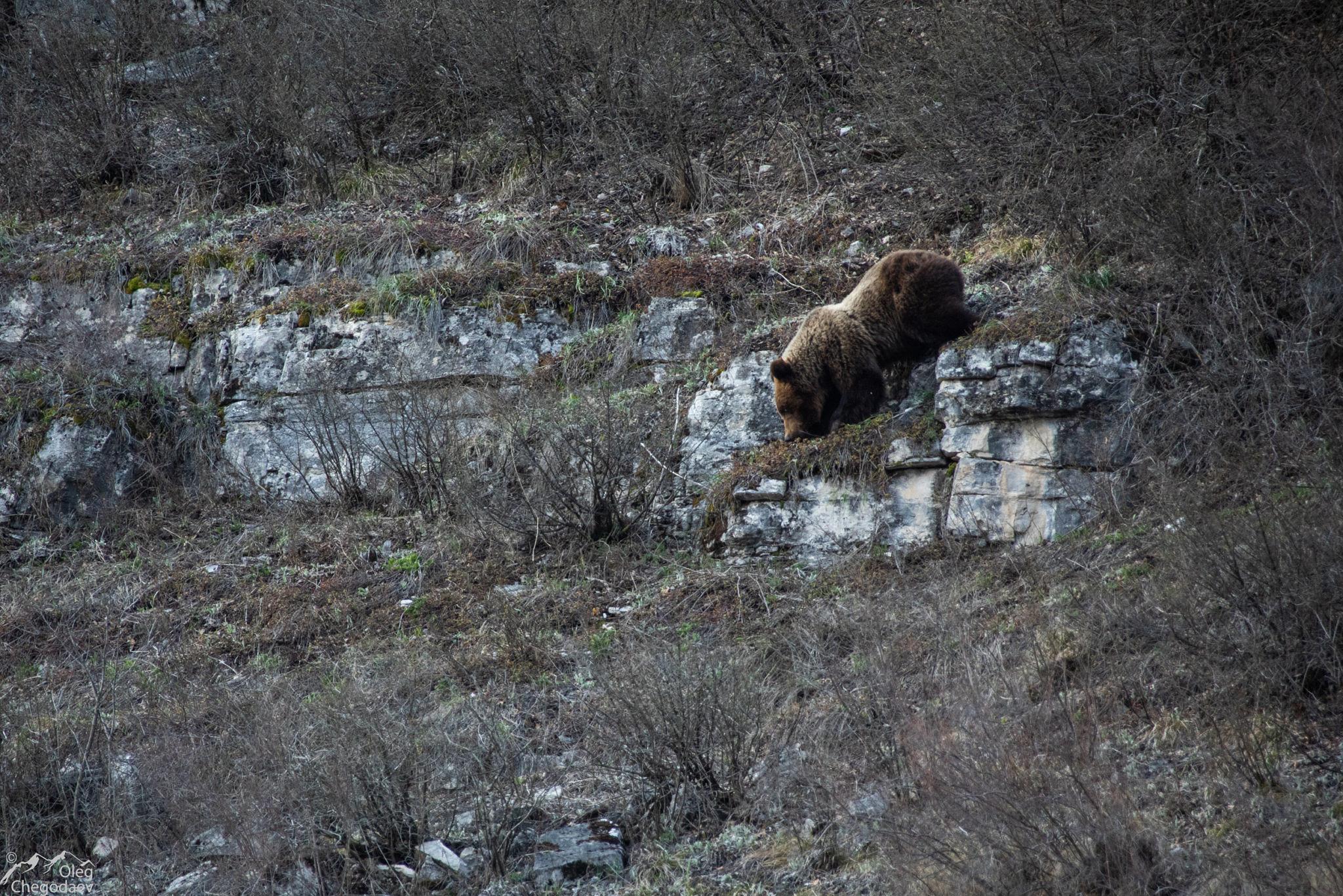 Медведь в Башкирии